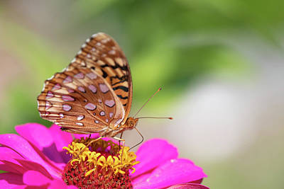 Photograph - Fritillary 2 by Brian Hale