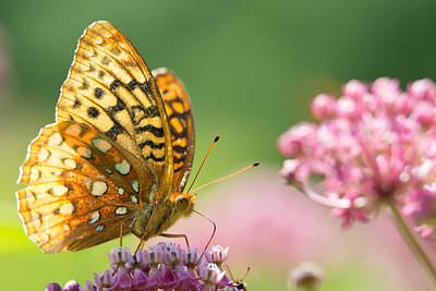 Photograph - Fritillary by Brian Hale