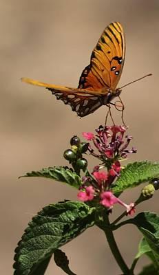 Photograph - Fritillary Butterfly by Liz Vernand