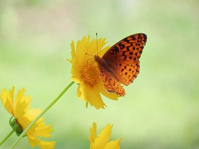 Photograph - Fritillary Fun by MTBobbins Photography