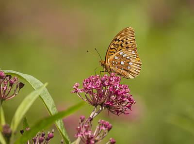 Swamp Milkweed Photograph - Fritillary On Milkweed 2014-2 by Thomas Young