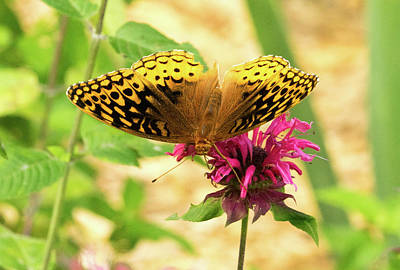 Photograph - Fritillary On Monarda 2 by Douglas Barnett