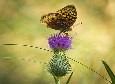 Kitchen Mark Rogan - Fritillary On Thistle 2013-2 by Thomas Young