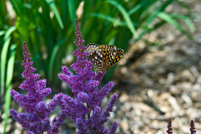 Pittsburgh According To Ron Magnes - Fritllary Butterfly on Astilbe by Douglas Barnett