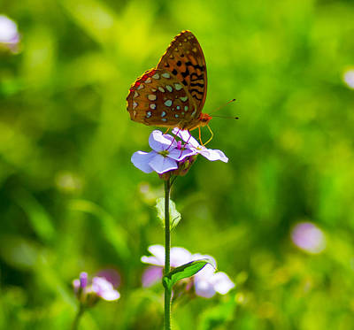 Sports Royalty-Free and Rights-Managed Images - Frittilary butterfly on flower by David Tennis