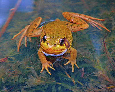 Photograph - Frog 1 by Diana Douglass