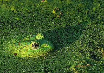 Photograph - Frog And Duckweed by Edward Peterson