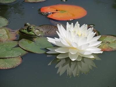 Photograph - Frog And Lily by MTBobbins Photography