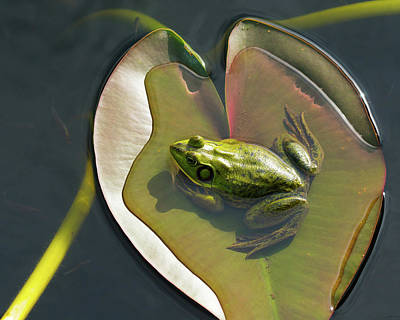 Photograph - Frog Chilling On A Lilly Pad Delray Beach Florida by Lawrence S Richardson Jr