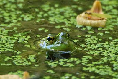 Photograph - Frog Eyes by Karen Silvestri