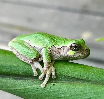 Photograph - Frog by Gillis Cone