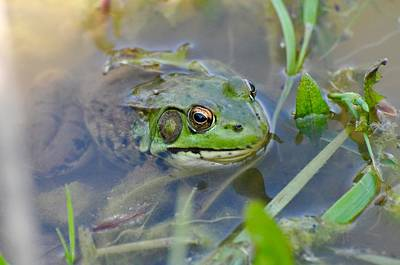 Photograph - Frog Hiding In The Pond by Lisa DiFruscio