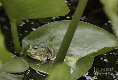 Photograph - Frog On A Lily Pad by Jeannette Hunt