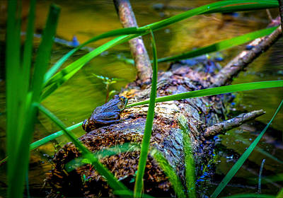 Frog On A Log 1 Art Print