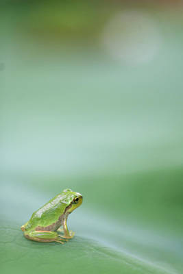 Frogs Photograph - Frog On Leaf Of Lotus by Naomi Okunaka