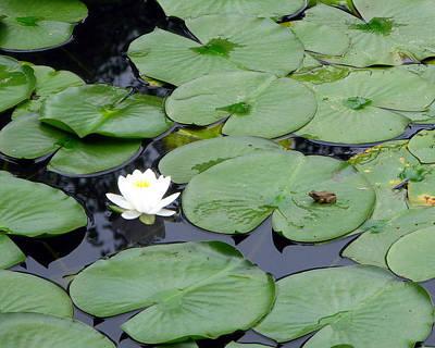Frog On Lily Pad Art Print