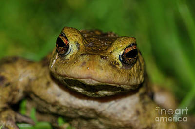 Photograph - Frog by Steev Stamford