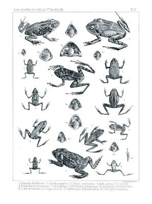 Drawing - Frogs Of Costa Rica by T Sinclair