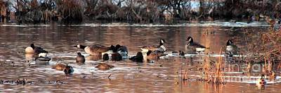 Photograph - Frolicking Canadian Geese by Marcia Lee Jones