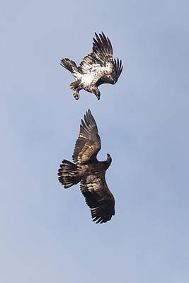 Bif Photograph - Frolicking Eagles by Paul Freidlund