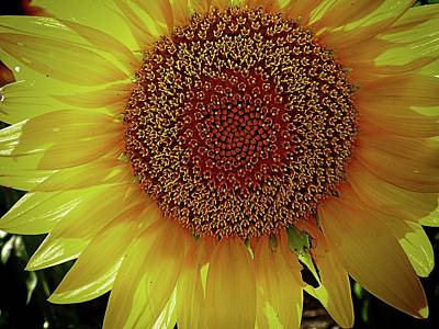 Photograph - From A Sunflower Point Of View by Karen McKenzie McAdoo