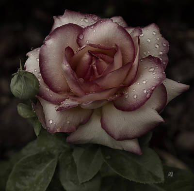 Photograph - From Me To You Winter Rose by Barbara Middleton