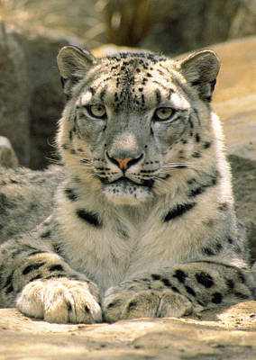 Leopard Portrait Photograph - Frontal Portrait Of A Snow Leopards by Jason Edwards