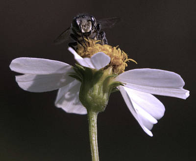 Photograph - Frontal View Of A Bee On A Flower by Vincent Billotto