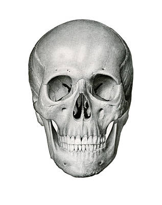 Frontal View Of Human Skull Print by German School