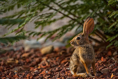 Photograph - Frontyard Bunny by Dan McManus