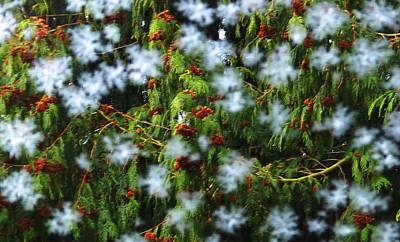 Photograph - Frost And Cedar by Karen Molenaar Terrell