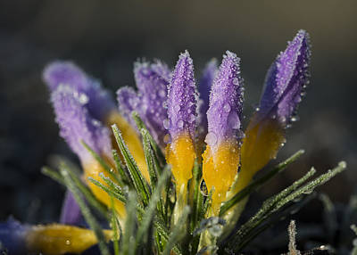 Photograph - Frost And Dew On Crocuses by Robert Potts