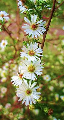 Photograph - Frost Aster by Mary Ellen Frazee