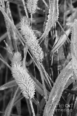 Photograph - Frost Covered Grass by Tamara Becker
