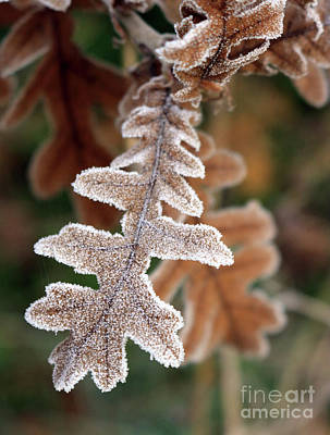 Frost Covered Oak Leaf Art Print