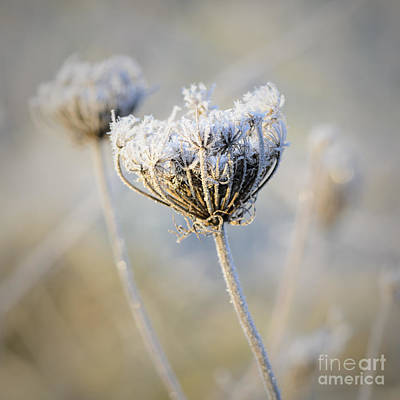Photograph - Frost Covered Queen Anne's Lace by Tamara Becker