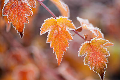 Photograph - Frost On Autumn Leaves by Jenny Rainbow