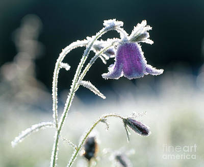 Photograph - Frost On Bellflower by Hans Reinhard