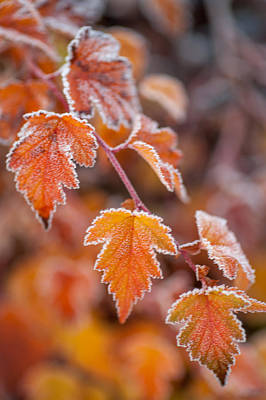 Photograph - Frost On Orange Autumn Leaves by Jenny Rainbow