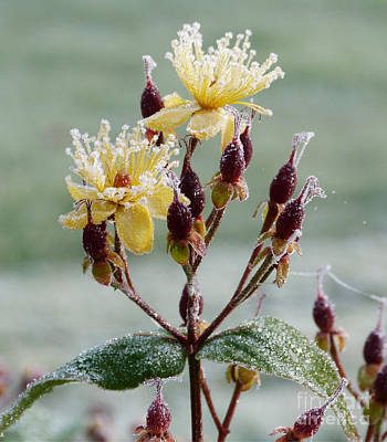 Photograph - Frost On St. Johns Wort by Phil Banks