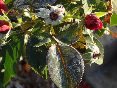 Photograph - Frost Rose Bud by Amanda Balough