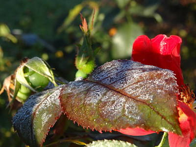 Photograph - Frost Rose Leaf by Amanda Balough
