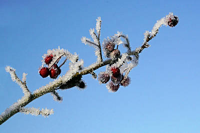 Photograph - Frosted Berries by Inge Riis McDonald