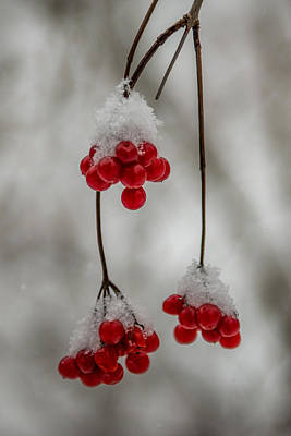 Frosted Berries Print by Paul Freidlund