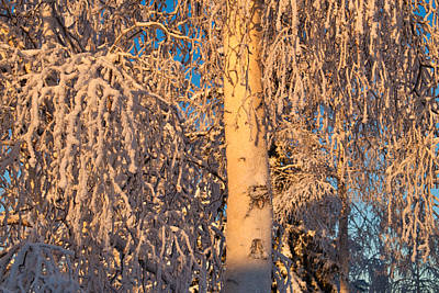 Photograph - Frosted Birch Tree by Cathy Mahnke