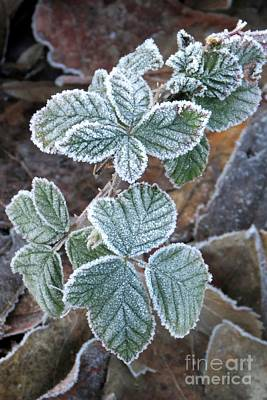 Photograph - Frosted Blackberry by Frank Townsley
