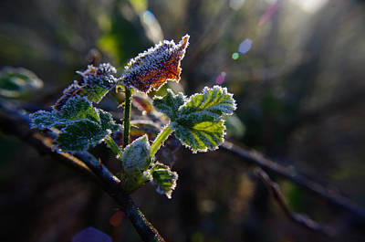 Photograph - Frosted Bramble by Adria Trail