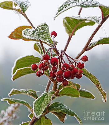 Photograph - Frosted Cotoneaster by Phil Banks
