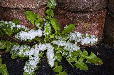 Photograph - Frosted Dandelion Leaves by Deborah Smolinske