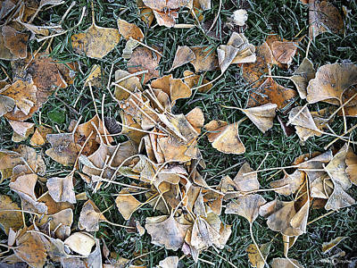 Photograph - Frosted Ginko by Tim Nyberg